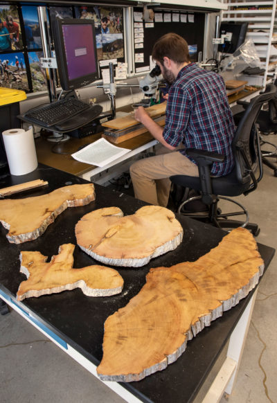 Researcher Will Tintor examines a cross-section of a bristle cone pine tree at the University of Arizona's Laboratory of Tree-Ring Research, seeking clues about precipitation and climate trends during the tree's lifetime.