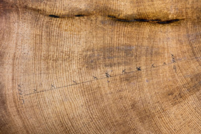 A close-up of bristle cone tree rings with Xs marking 10-year spans.  Information from tree rings give scientists data on precipitation and other climate information for each year of growth.