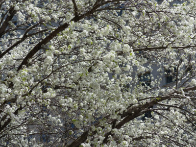 Haskell repeatedly visited this Callery pear tree in Manhattan, shown here in full bloom.
