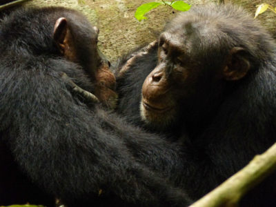 Two adult male chimpanzees groom each other in Tai National Park in Ivory Coast.