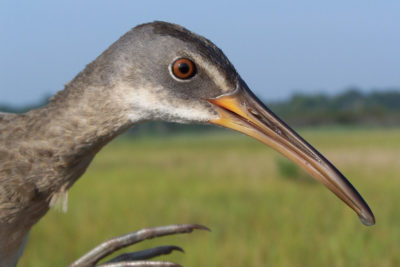 Clapper rails, which live in salt marshes, are among the birds returning to Prime Hook.