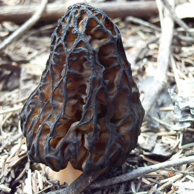 Mushroom hunter Terri Clements used DNA sequencing to confirm a new species of black morel, Morchella kaibabensis, she found near her home in Arizona.