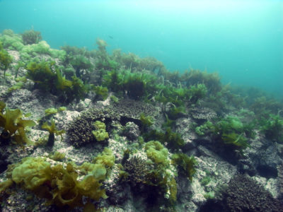 Corals grow alongside seaweed in temperate waters off southern Japan.