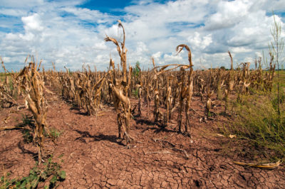 A drought-affected corn field in Texas in 2013.