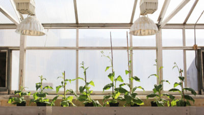 Four unmodified plants (left) grow beside four plants (right) engineered with alternate routes for photorespiration, which allow them to reinvest their energy and resources to boost productivity by 40 percent.