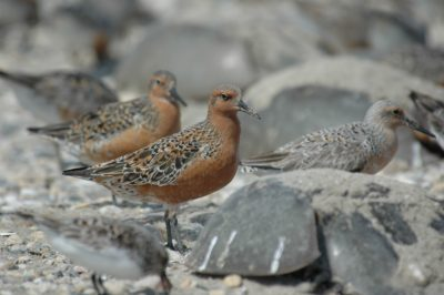 Red knots with horseshoe crabs. The birds feed on the crabs' eggs.