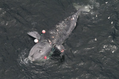 This female right whale died off the Canadian coast this summer after dragging crab traps for days.