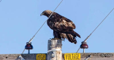 A golden eagle perched on an uninsulated, high voltage power pole.