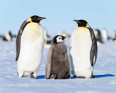 An emperor penguin breeding pair and their chick.
