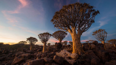 Quiver trees are declining in Namibia, but thriving in South Africa, indicating a poleward shift of the species.