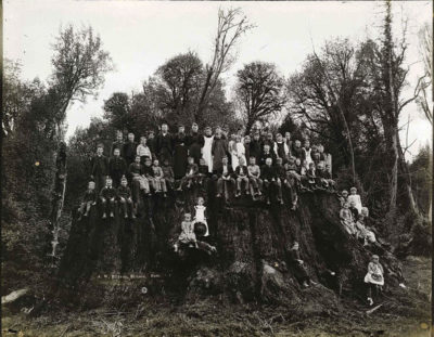 The Fieldbrook Stump, in California, not long after it was felled in 1890. Cuttings from it have been used to create the new cloned saplings planted recently in San Francisco.