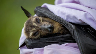 A spectacled flying fox that died in the November 2018 heat wave in Australia.