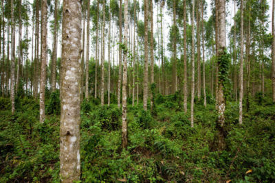 A eucalyptus plantation in Riau, an Indonesian province on the central eastern coast of Sumatra.