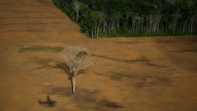 A lone nut tree remains in a logged area of the Amazon in the Brazilian state of Pará.