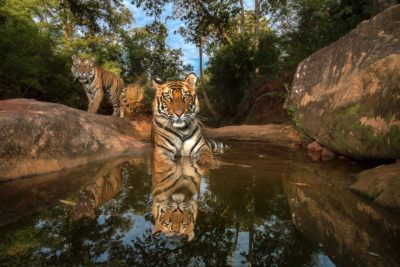 Tigers photographed with a remote camera in India's Bandhavgarh Tiger Reserve.