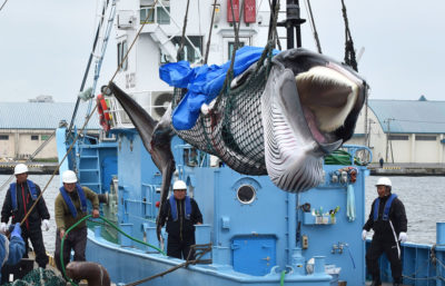 A captured minke whale is lifted by a crane at a port in Kushiro, Japan on July 1.