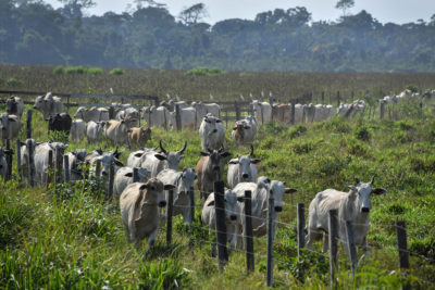 Cattle in Para state, Brazil, in the Amazon.