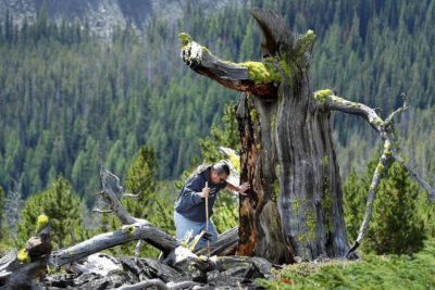 Tribal program manager Mike Durglo Jr. examines what remains of a 2,000-year-old whitebark pine on the Flathead Indian Reservation in Montana, where trees are dying from warming-related diseases.
