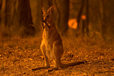 A wallaby licks its burnt paws after escaping a bushfire near the township of Nana Glen in New South Wales in November 2019.