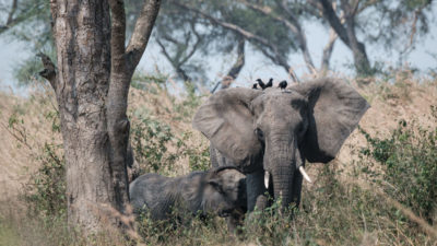 Elephants in Uganda's Murchison Falls National Park, where the French oil giant Total plans to drill 32 wells.
