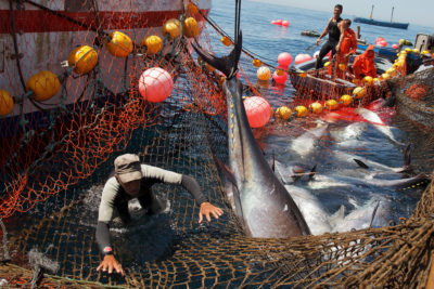 A fisherman moves to avoid being hit by a bluefin off the coast of Cadiz province, Spain in 2014.