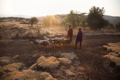 The Maasai have herded livestock in the Serengeti for generations.