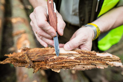 A forester in Poland's Bialowieza Forest points to larvae of spruce bark beetles.