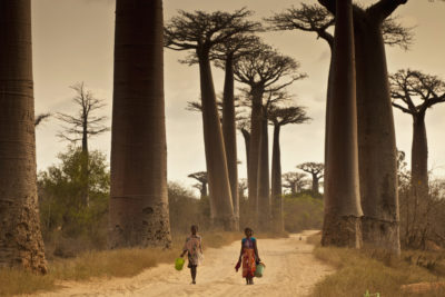 These baobab trees, near Morondava, Madagascar, are up to 2,800 years old. Scientist attribute the sudden deaths of ancient baobabs in recent years to climate change.