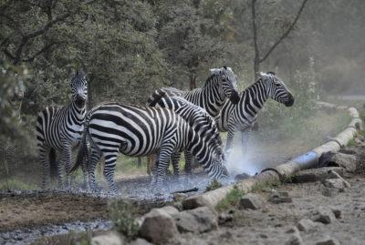 Zebras gather beside a pipe connected to geothermal wells near the Olkaria geothermal plant in Hell's Gate National Park.