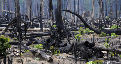 New vegetation grows amid burnt trees in the Amazon in the state of Para, Brazil.