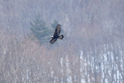 A golden eagle, one of few remaining in Japan.