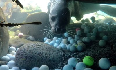 A harbor seal investigates sunken golf balls in the Monterey Bay National Marine Sanctuary.