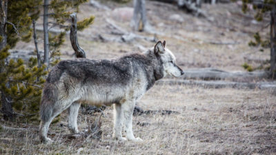 The gray wolf has returned to Yellowstone National Park.