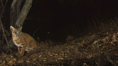 A bobcat photographed by a camera trap in Los Angeles' Griffith Park.