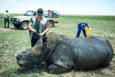 A veterinarian examines a recently-dehorned rhino on John Hume's ranch near Klerksdorp, South Africa. Hume owns more than 1,600 rhinos, which are dehorned to dissuade poachers.