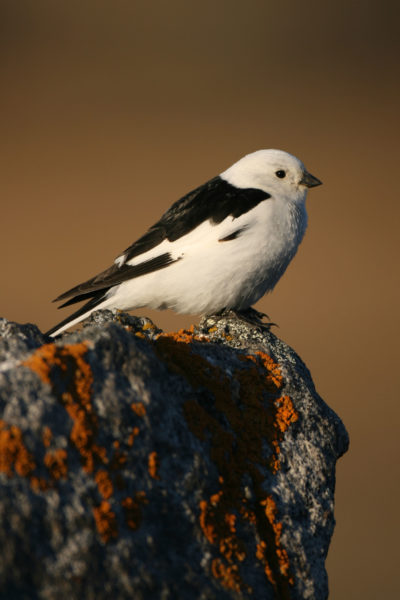 Migratory birds such as snow buntings, seen here near Kangerlussuaq, increasingly miss the peak nutrition of plants.
