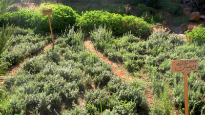 An herb plot with basil, rosemary, mint, and thyme planted by women in the Ferkla region.​