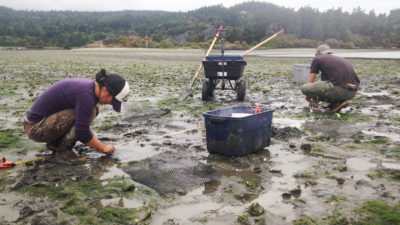 Swinomish fisheries managers and scientists collect data on how ocean acidification is impacting oyster and clam development.