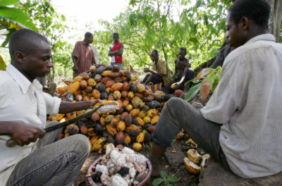 Workers cut cocoa in the Ivory Coast village of Godilehiri. Most of the country's cocoa is grown by small farmers, on plots of 7 to 10 acres.