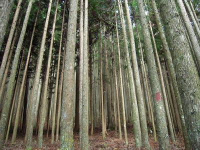 A planted forest in Nara Prefecture, Japan.