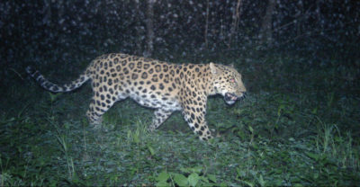 At least 42 Amur leopards, such as this one photographed at a camera trap, live within the boundaries of the proposed new national park.
