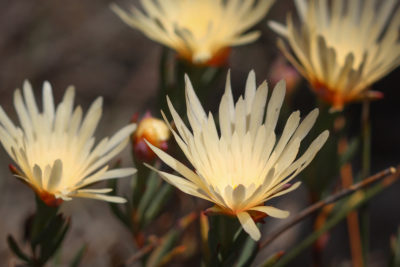 Lampranthus schlechteri, a rare, native plant species found in the Wemmershoek Vlei wetland, which was recently damaged by efforts to drill for groundwater.