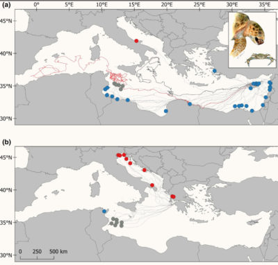 Satellite tracking data shows the movement of loggerhead turtles in the Mediterranean Sea from nesting to feeding sites over a 25-year period.