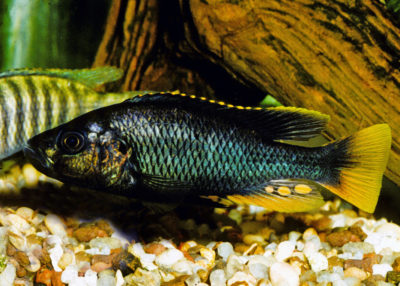 Astatotilapia-piceata​, a cichlid, in a fishkeeper's tanks in New Jersey.