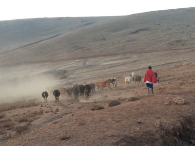 Maasai herders with their cattle inside the Ngorongoro Conservation Area.