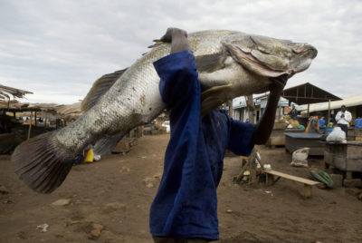 Nile perch, such as this 80-kilogram one caught in Uganda, devastated native species in Lake Victoria after being introduced in the 1950s.