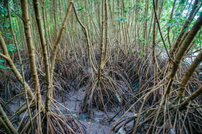 Tropical wetlands, such as this mangrove forest in Bali, give off the most intense tree-based emissions of methane.