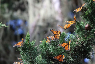Monarch butterflies overwintering in Pacific Grove, California.