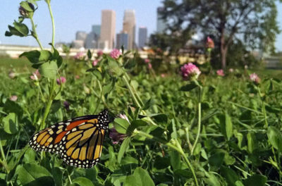 A monarch butterfly in a field near downtown Minneapolis.