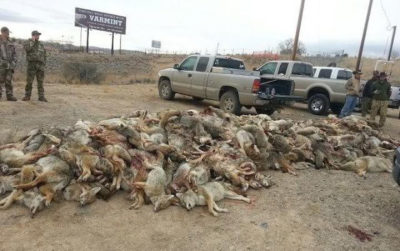 Coyote carcasses piled at a killing contest in Nevada.